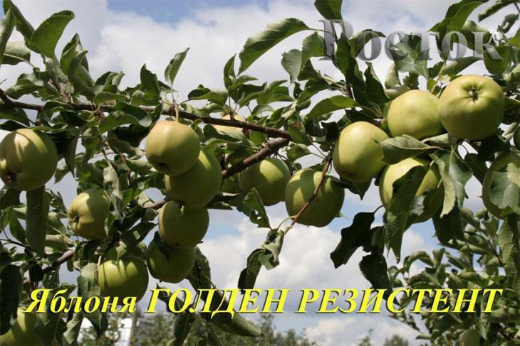 Сорта яблок и зимние сорта яблок   - primenimudrost ru