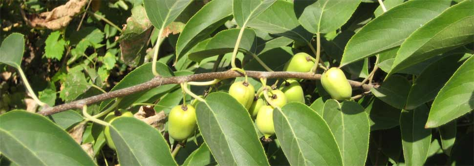 АктинидияРод деревянистых лиан семейства Актинидиевые. Наиболее известны плоды культурных сортов растения из этого рода — киви, или актинидия деликатесная..