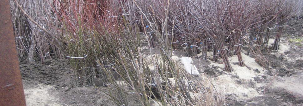 Обработка и прикоп саженцевВсе саженцы перед наступлением зимы проходят обязательную обработку и прикоп...